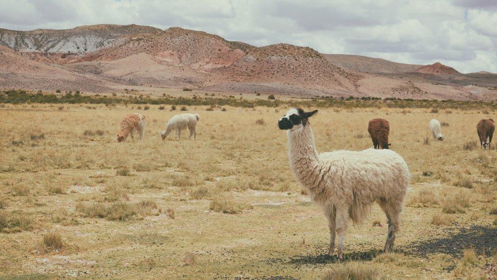 alpaka na pastwisku w Peru